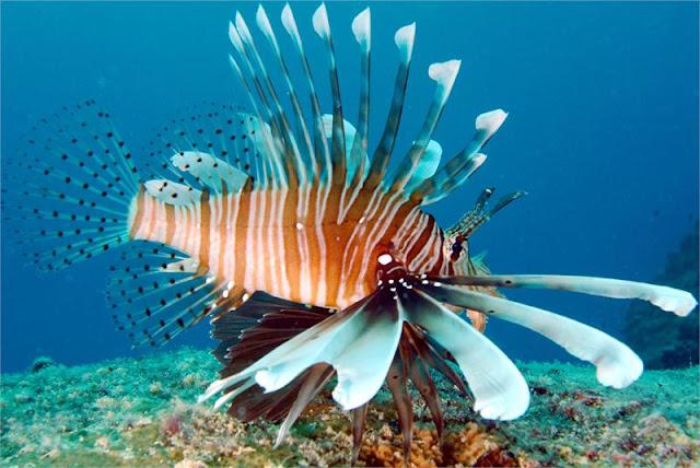 سمكة اسد البحر عندما يجتمع الجمال والخطر Seychelles_LI_FISH_1