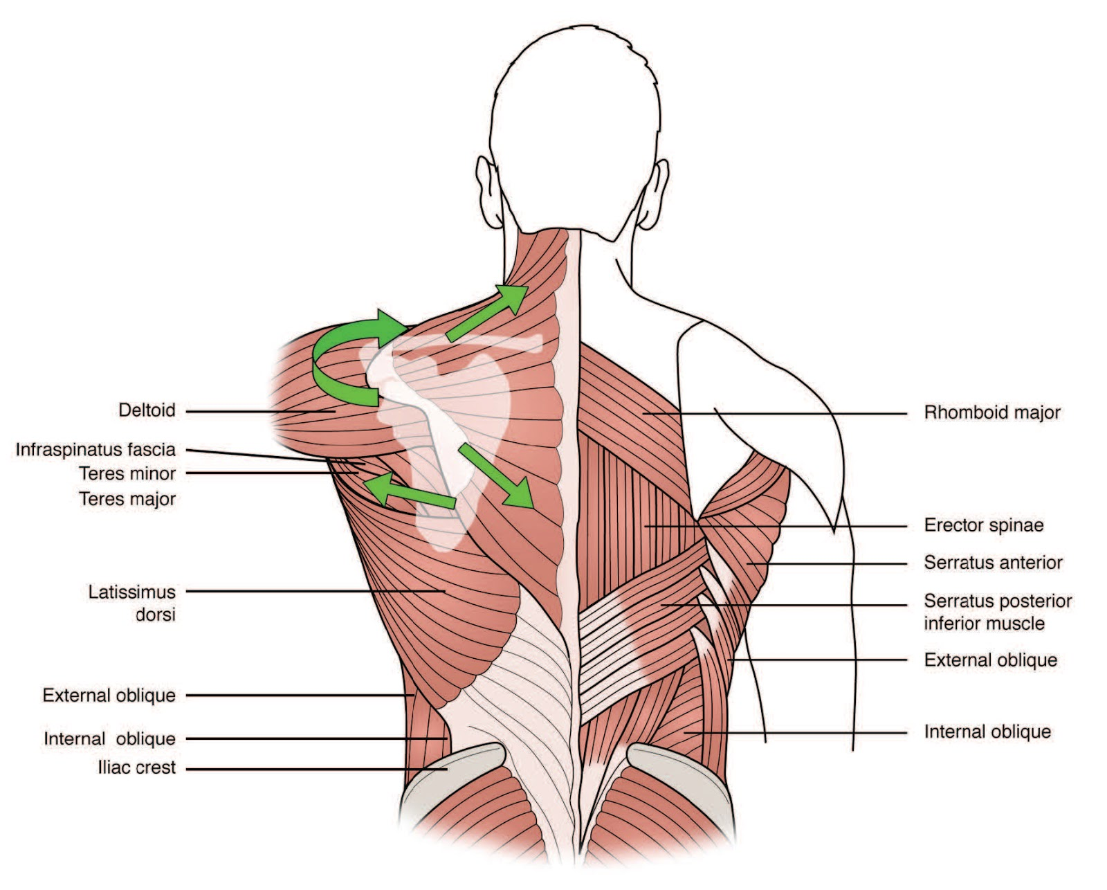 A Chiropractor and the Lower Trapezius