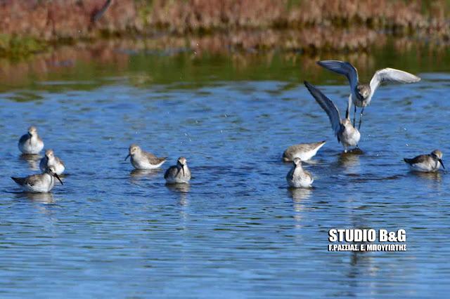 Μεσοχειμωνιάτικες καταμετρήσεις υδρόβιων πουλιών στον υγρότοπο Ναυπλίου - Νέας Κίου (βίντεο)
