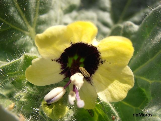 Flor de BELEÑO BLANCO Hyoscyamus albus
