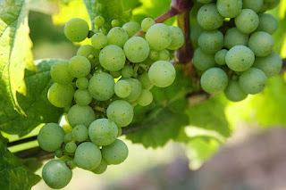 grapes, green grapes, nature, green, fruit, berries, plant, grapevine, vines, winegrowing, table grapes