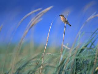 Жаворонок фото птицы