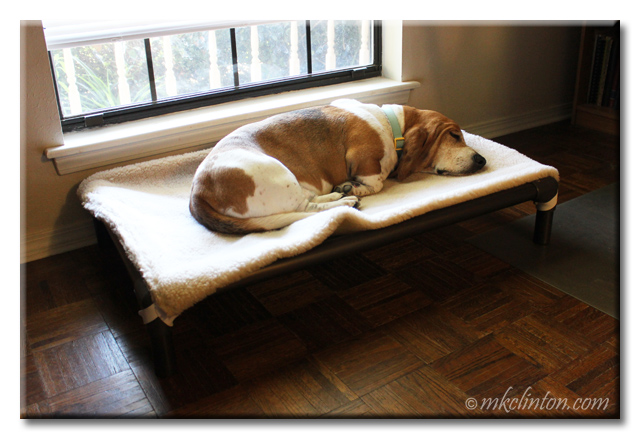 Bentley Basset sound asleep on Kuranda Dog Bed