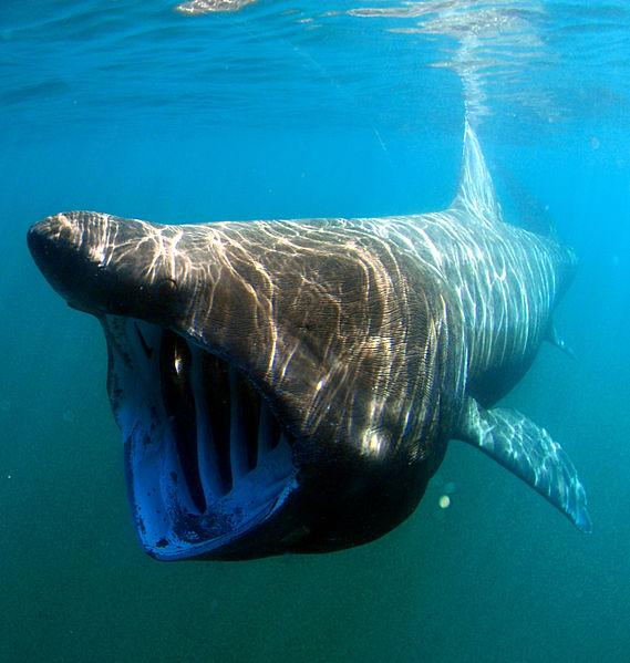 hewan laut purba megamouth shark atau hiu megamouth
