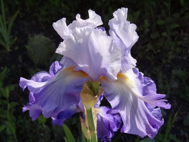 Floraisons 2016 de nos grands iris barbus et Bilan - Page 2 DSC07400