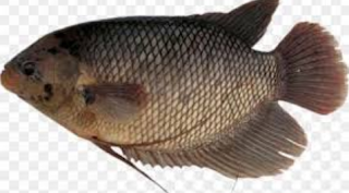 ikan gurame menjadi ikan konsumsi terfavorit lantaran rasanya  Kabar Terbaru- TERNAK IKAN GURAME YANG BIKIN DUIT RAME