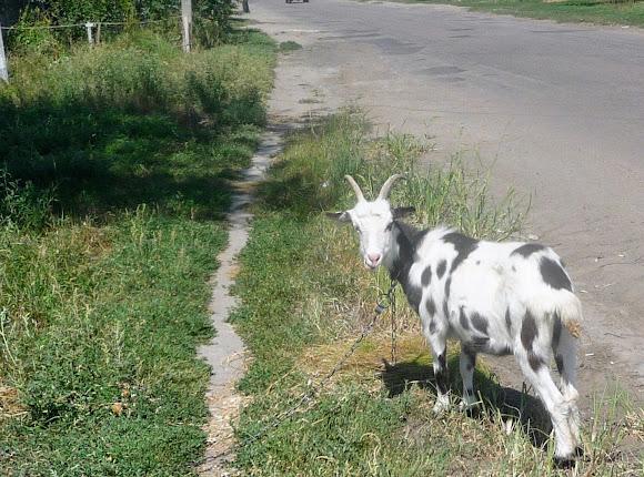 Васильківка. Район Низ. Вулиця Соборна. Кози на узбіччі