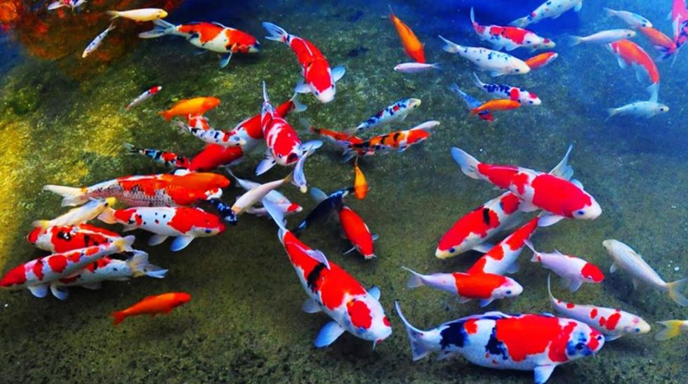 Ikan%2BKoi - Jenis Jenis Ikan Koi Dan Harganya