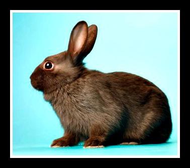 Dark Brown Rabbit