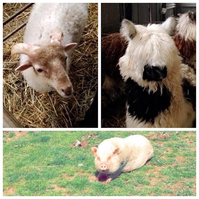 Fermes des Galipettes montons chèvres cochons