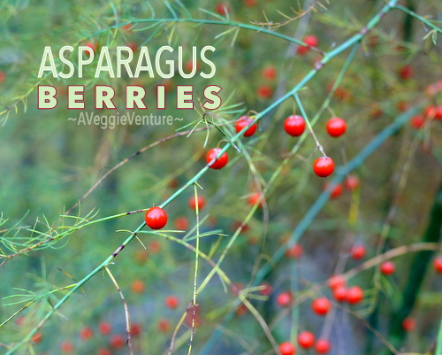 The Beauty of Asparagus Berries, another unexpected closeup on vegetables ♥ A Veggie Venture