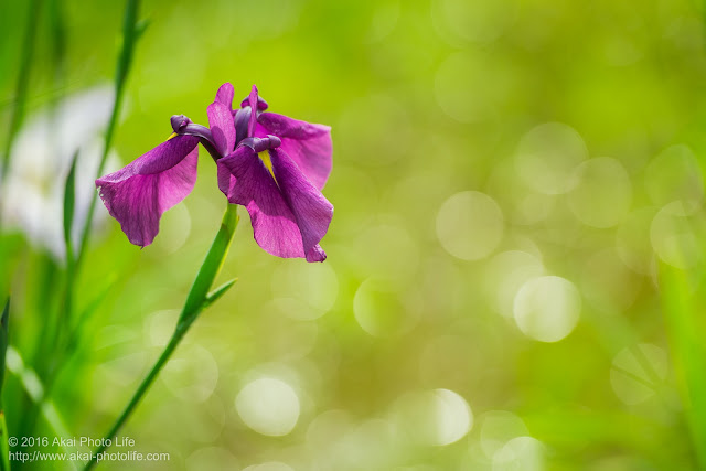 昭和記念公園で撮影した紫色の花菖蒲の写真