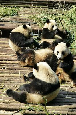 riserva panda gigante chengdu cina