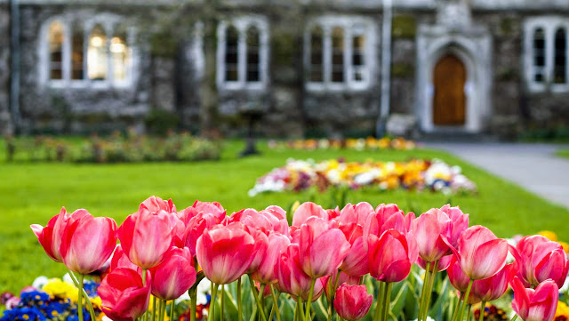 Tulips at University College Cork (UCC)