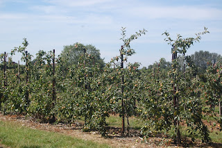 Apple trees at Brogdale