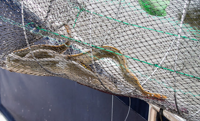 Photo of the eels that were caught in our net
