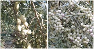 Λευκές ελιές: Μια πανέμορφη σπάνια ποικιλία ελιάς με καταγωγή από τα αρχαία χρόνια