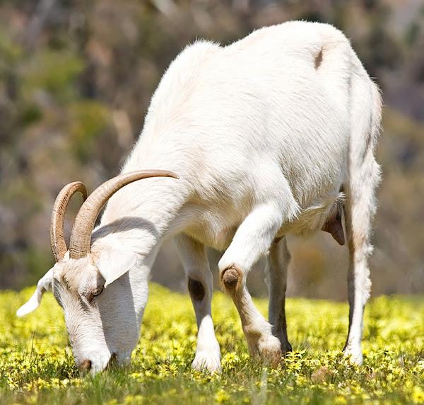 Goat Farming Tips For Beginners
