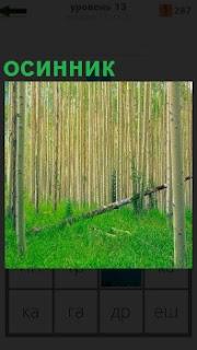 Густой лес осинник, густо посажен и трудно проходимый, зеленая трава под ногами