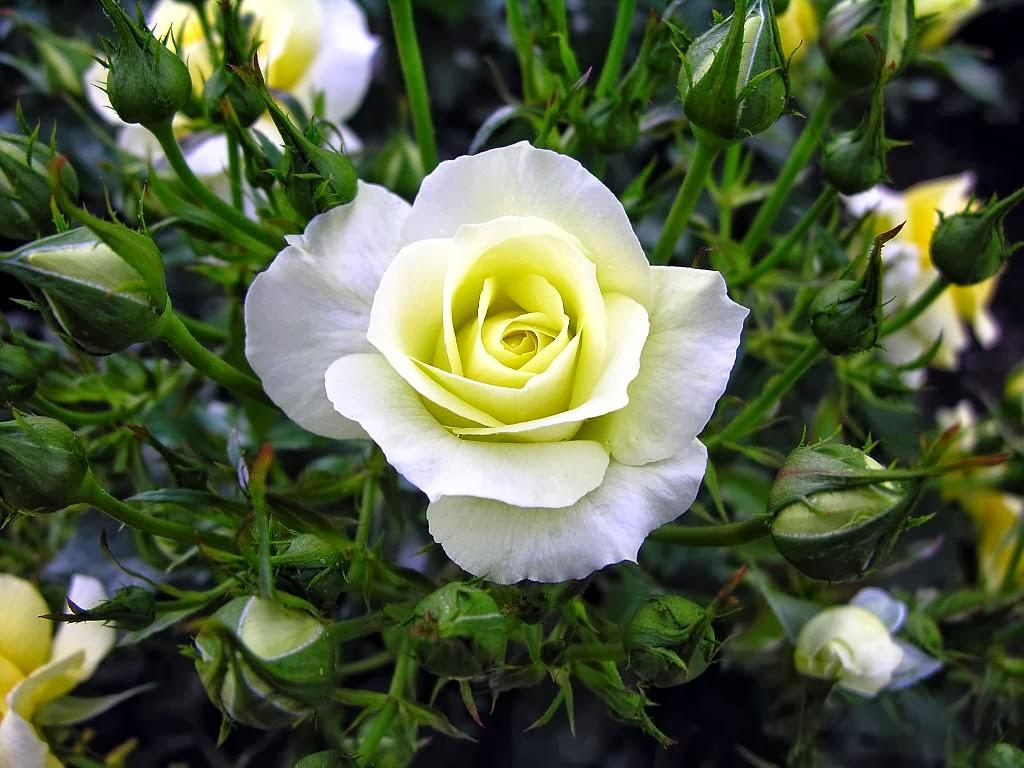 All 4u HD Wallpaper Free Download : Beautiful White Rose