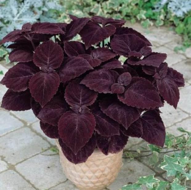 15 jenis pokok hiasan yang berwarna purple