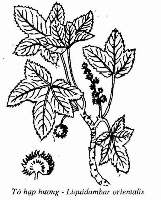 Hình vẽ TÔ HẠP HƯƠNG - Liquidambar orientalis Mill - Nguyên liệu làm thuốc Chữa Ho Hen
