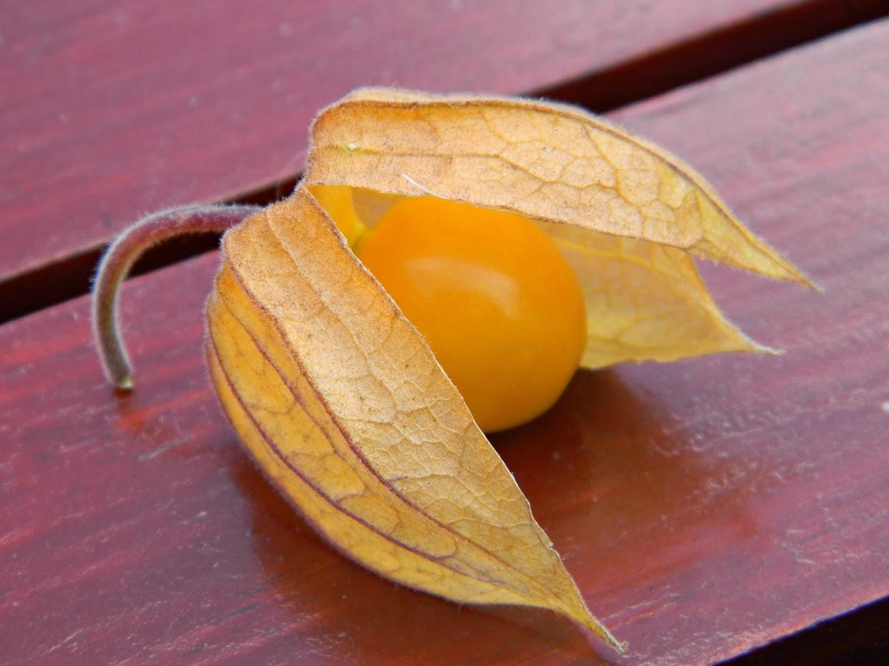 wiśnia peruwiańska
