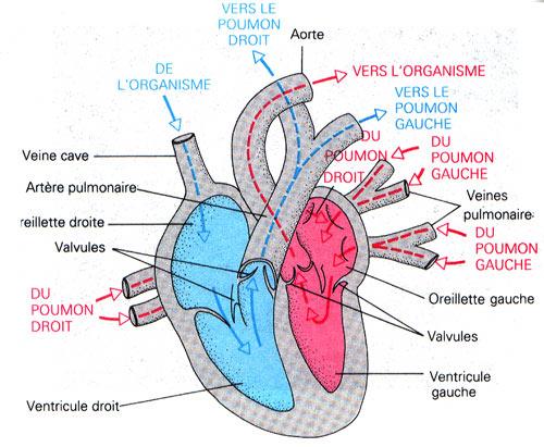 [صورة مرفقة: Anatomie%2Bdu%2Bc%25C5%2593ur%2Bhumain.jpg]