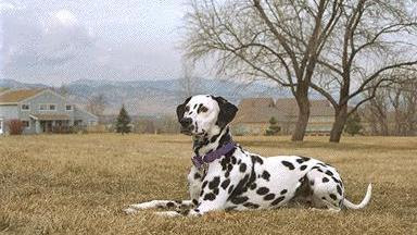 Origen perro Dálmata