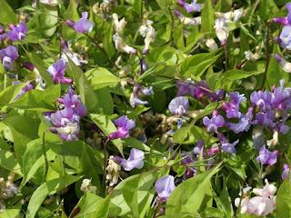 Gesse printanière - Orobe printanier - Lathyrus vernus - Orobus vernus
