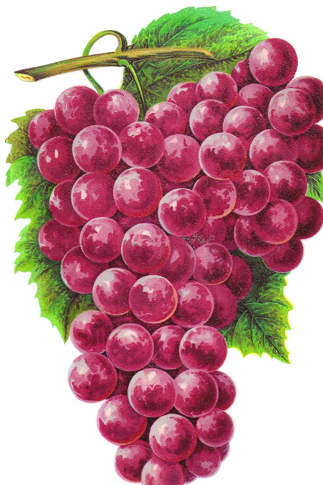 Antique Images: Free Clip Art of Fruit : Vintage Graphic ... (1064 x 1600 Pixel)