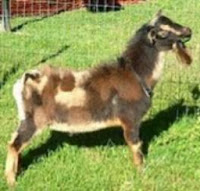 Reference Nigerian Dwarf Goat Sire