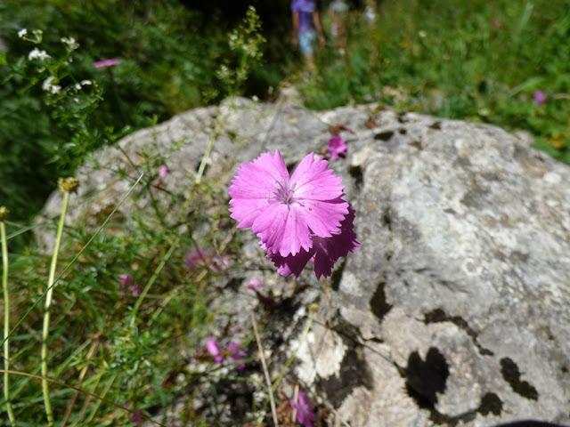 Garofita salbatica Dianthus Sylvestris, floare rozin Valea Horoabei, Bucegi