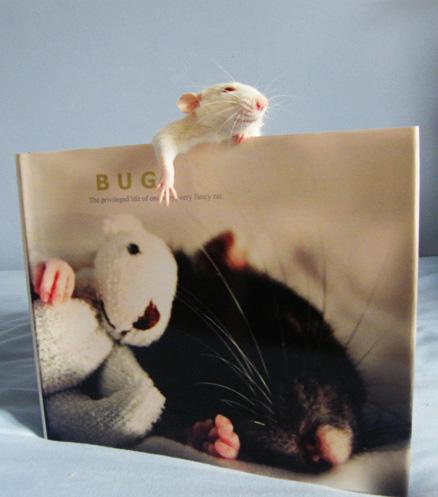 rata como mascota