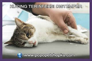 kucing terinfeksi distemper