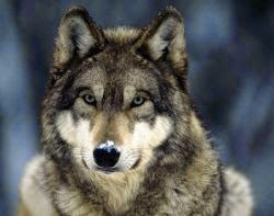 Gambar Serigala | Dunia Binatang