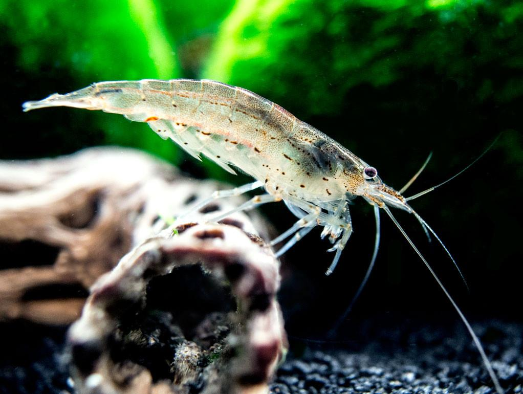 Freshwater Shrimp Farming and Production Method ...
