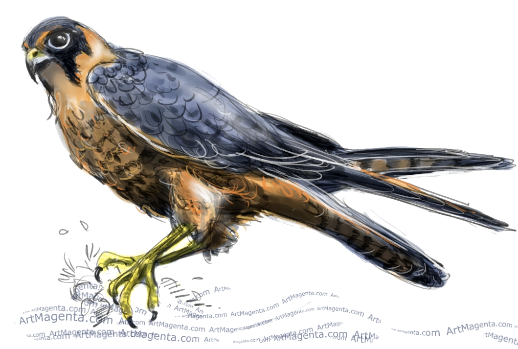 Hobby Falcon sketch painting. Bird art drawing by illustrator Artmagenta
