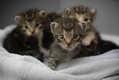 a littler of four tabby kittens