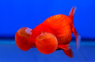 Jenis dan gambar ikan mas koki