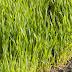 गेहूं की खेती (Wheat)
