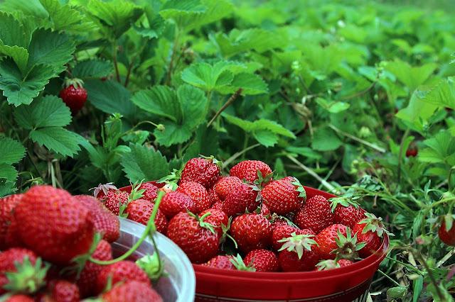 Menanam Buah, Cara menanam strawberry, Pupuk yang cocok untuk strawberry, cara budidaya strowberi organik, manfaat strowberry bagi kesehatan, Cara perawatan pada tanaman strawberry, strawberry