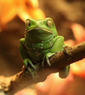 """Senyawa yang berada pada bab punggung katak waxy monkey tree  Penggunaan Senyawa """"Doping"""" Dari Katak Pada Kuda Pacuan"""