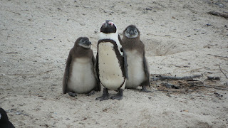 Penguin adult with chicks.