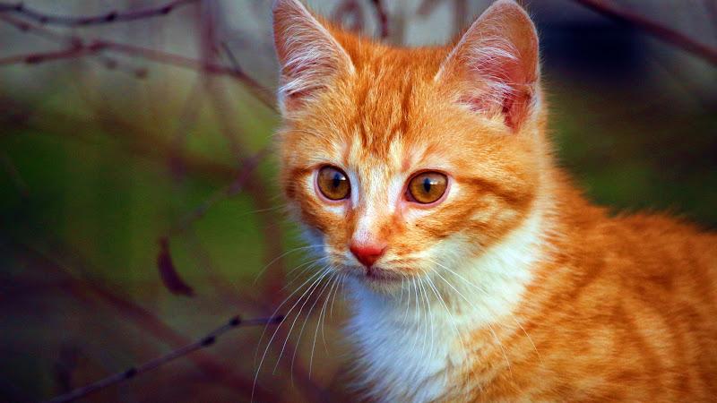 Cat Portrait HD