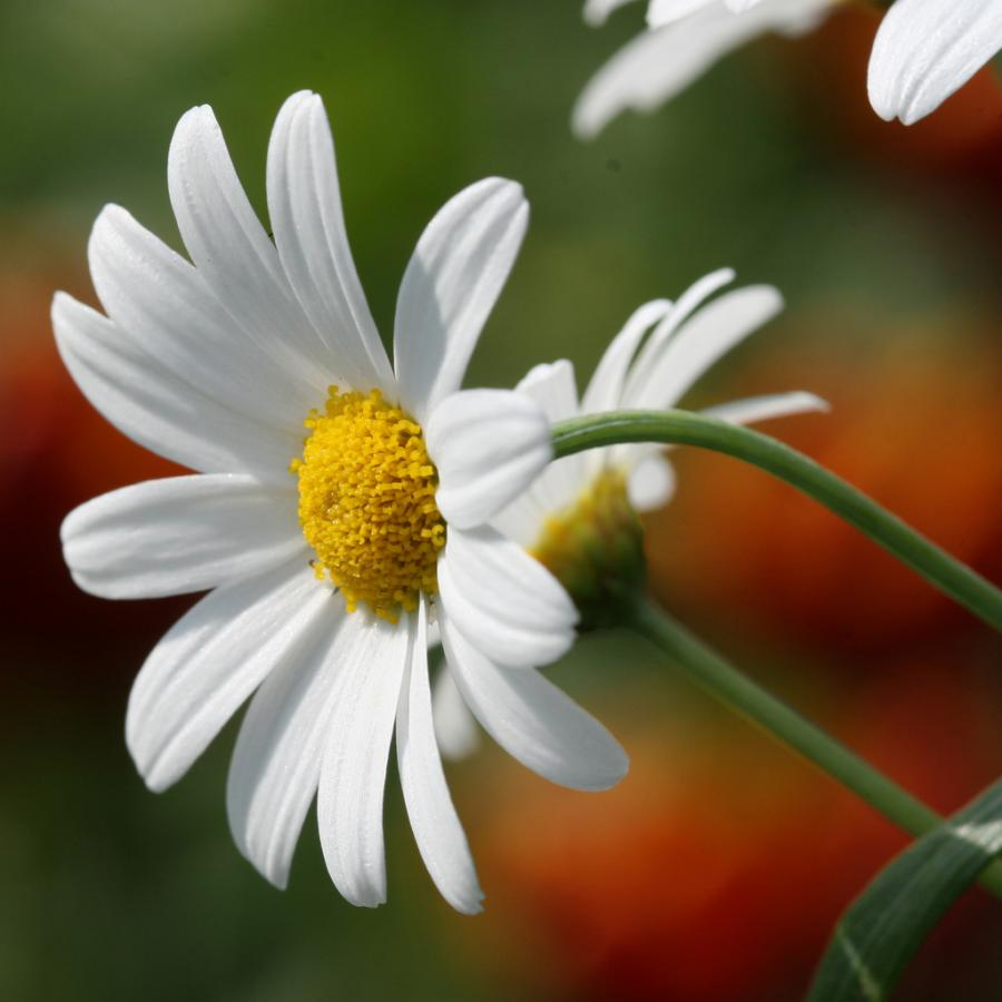 Flower Picture: Daisy Flower # 4
