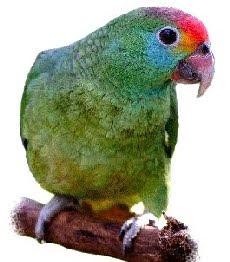 Amazona rhodocorytha