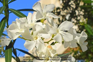 nerium oleander, adelfas, plantas venenosas, plantas tóxicas, jardinería