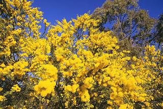 Gambar Bunga Akasia yang Indah 20