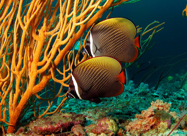 Butterfly Fish facts, information and pictures 7